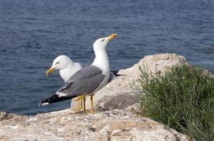 mouettes à la mer photo