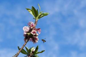 abeille volant sur les fleurs photo