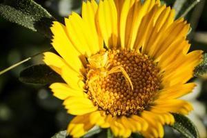 araignée jaune sur une marguerite photo
