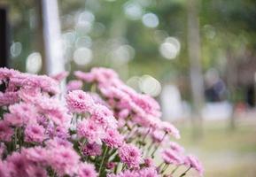 fleurs de chrysanthème rose