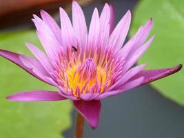 fond de nénuphar fleur de lotus photo