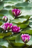 nénuphars en fleurs d'été