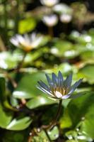 lotus nénuphar en Indonésie.
