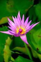 fleur de lotus ou nénuphar photo