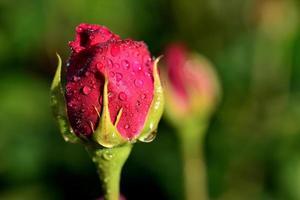 bouton de rose rouge avec des gouttes d'eau