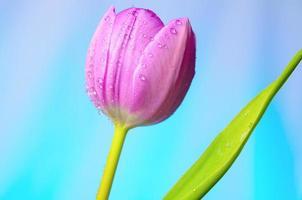 tulipes lilas avec des gouttes d'eau. photo