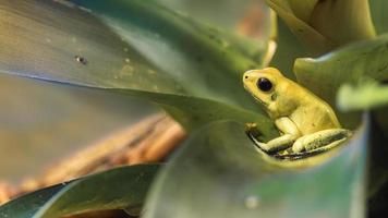 grenouille flèche dorée