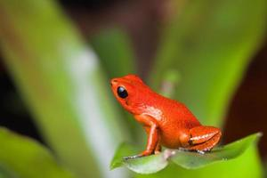 grenouille orange poison dart photo