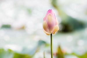 nénuphar rose