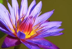 fleur de nénuphar violet