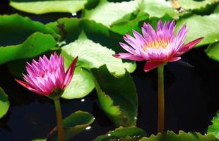 lotus sur l'eau