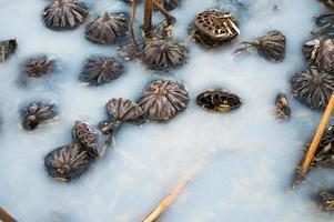 lotus la surface de l'eau gelée.