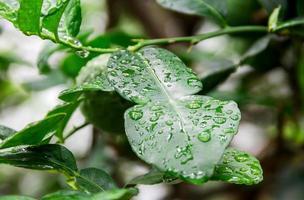 feuilles de lime kaffir avec goutte d'eau