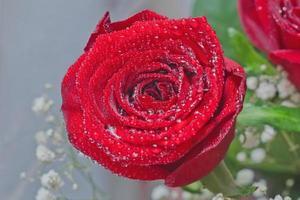 belle rose rouge avec des gouttes d'eau