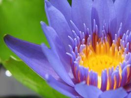 Gros plan de nénuphar ou lotus