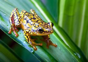 Photographie en gros plan d'une grenouille arlequin poison photo