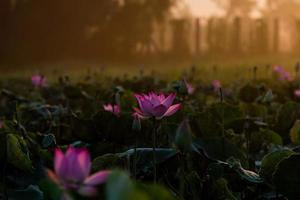lotus et lumière chaude du soleil