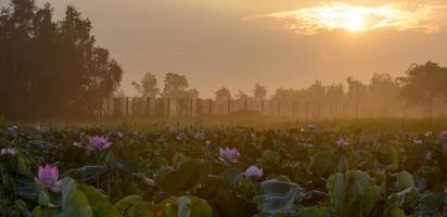 lotus au lever du soleil