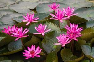 fleur de lotus frais de couleur rose photo