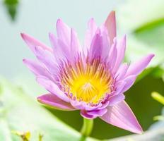 fleur de lotus sur l'étang