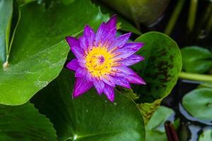 nénuphar, lotus dans la nature
