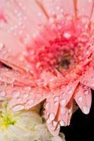 gouttes d'eau sur la fleur rose