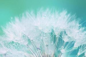 graines de pissenlit blanc tendre avec des gouttes d'eau