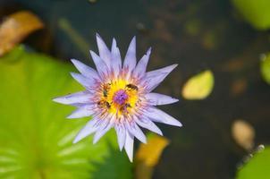 fleur de nénuphar rose et abeille