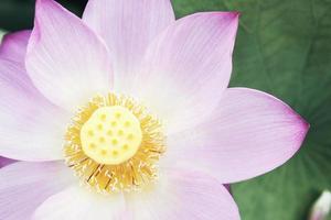 gros plan, de, fleur lotus rose, porcelaine