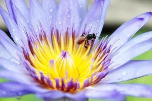 abeille sur fleur de lotus bleu.