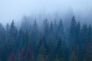 pins brumeux sur la pente de la montagne