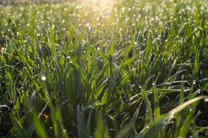 herbe verte fraîche avec des gouttes d'eau photo