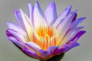 fleur de lotus ou gros plan de nénuphar
