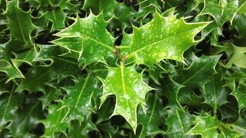 feuilles de houx avec des gouttelettes d'eau sur photo