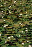 nymphaea odorata, lotus blanc