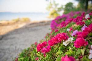 fleurs blanches et roses photo