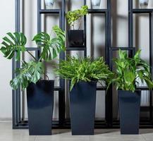 Plantes monstera deliciosa dans des pots noirs photo