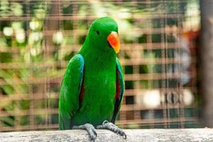 le perroquet eclectus a des plumes naturellement vibrantes
