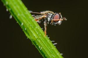 hoverfly nettoyant son visage