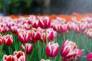 goutte d'eau sur les tulipes en arrière-plan de jardin