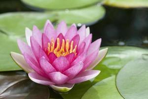 fleur de lotus rose