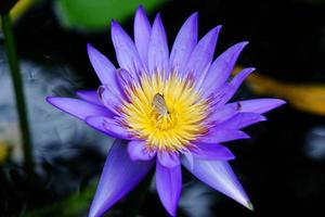 papillon dans le lotus violet
