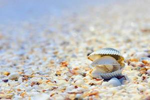 coquilles ouvertes sur la plage photo