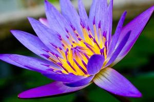 gros plan de fleur de lotus violet