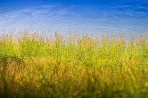 roseaux d'herbe venteux