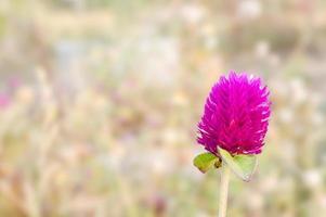 globe amarante fleur