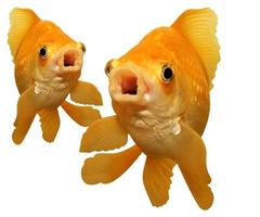 deux, affamés, chantant des poissons rouges. photo