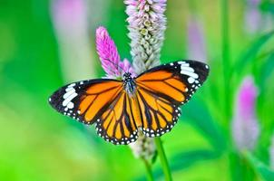 papillon tigre commun