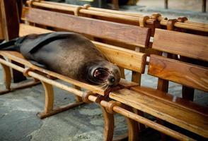 Lion de mer bâillant sur banc de parc photo