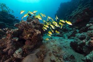 vivaneaux bordés de bleu dans la mer rouge. photo